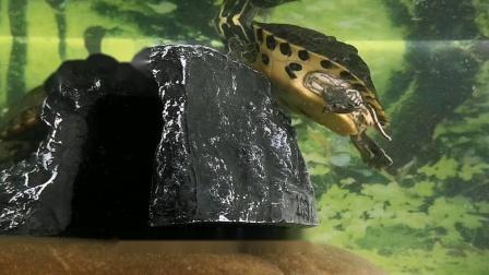好玩的地图龟成体喂食