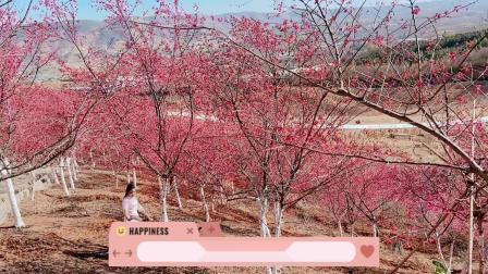 参赛作品:四季如春冬日景色带你看漫山遍野樱花谷.MOV