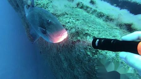 手持D700潜水手电筒 深潜揭开海底面纱与动物零接触