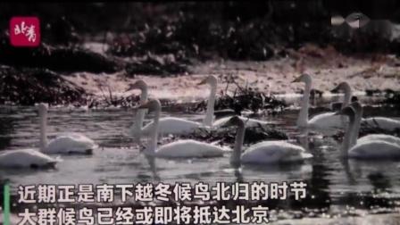 黑豹野保站 北京青年报 官厅赤麻鸭.mov
