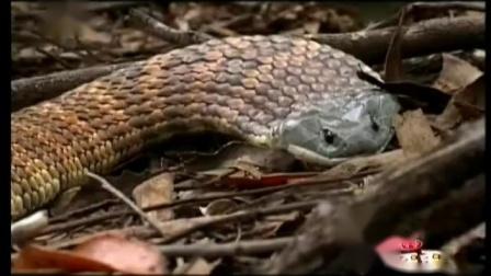 自然密码20110125-澳洲十二金刚