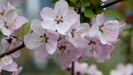 20210305营山滨河公园的海棠花【1080p】--8分56秒