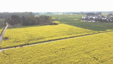 三月菜花-片金黃