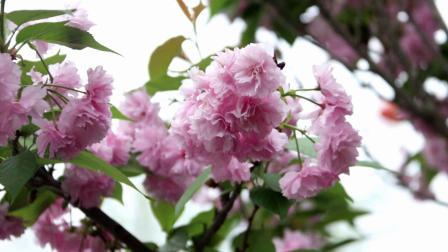 重龙大道樱花