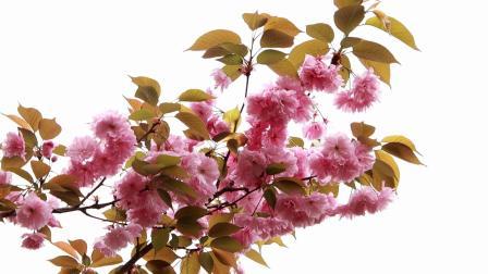 20210322营山白塔公园的樱花【2】【1080p】--8分10秒★★★★★