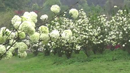 美丽的绣球花全景