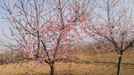 我的视频,春天的桃花。