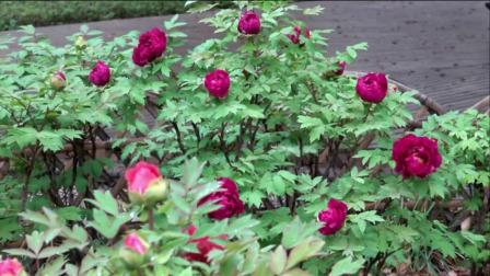 观赏上海中山公园的牡丹花
