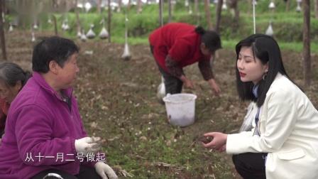 青川欣源:小小羊肚菌 让更多村民走上致富路