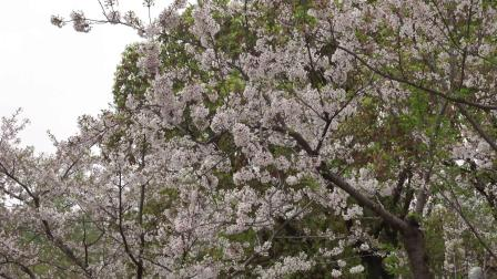 2021上海(国际)花展,上海植物园樱花