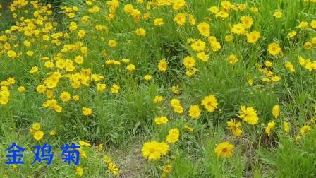 泺清河公园盛开的金鸡菊