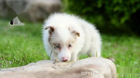 COFFEE母G3-45天 红陨石边牧 爱丁堡边境牧羊犬.mpg