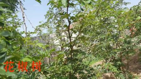 果实累累的花椒树