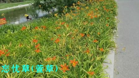 泺清河公园里的金针花