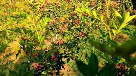 豫西花椒熟了
