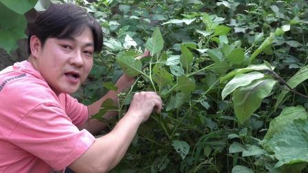 这么大颗的龙葵还是第一次吃,朱坤怀旧90年代童年回忆