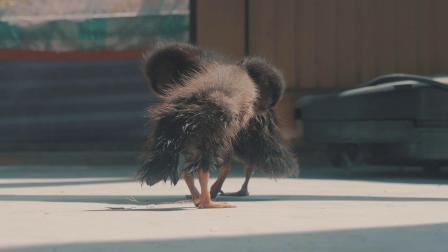 【玉帝之杖】鸭宝宝诞生记4K60帧