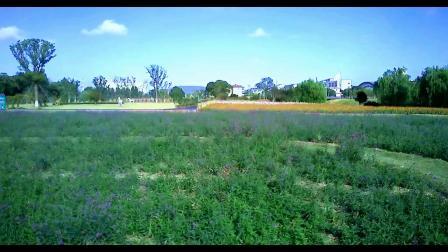 街边绿地马鞭草 试机小拍