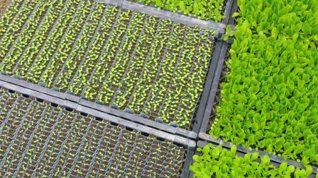 现代农业 青菜栽培与收获