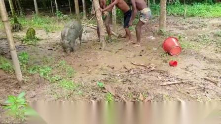 印度古老的杀猪方式,70岁大爷用竹子一插,5人摁倒,简单快速!