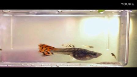 大鱼产仔时吃掉小鱼