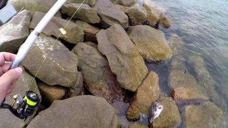 粟米真的可以钓鱲鱼?