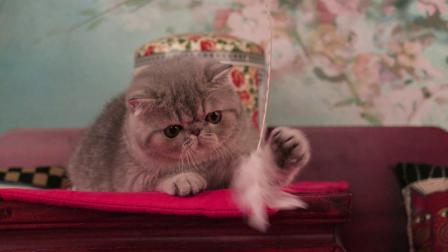 蓝色虎斑异国短毛猫 男孩[紫英猫舍]