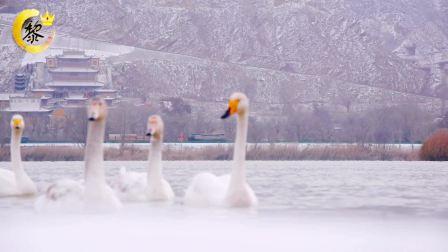 盐锅峡三江口小茨村河岸发现一群外来客白天鹅