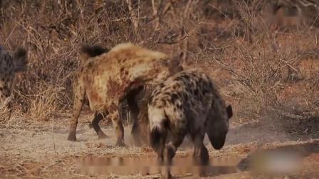 【动物·世界】鬣狗和蟒蛇打架,到底谁能赢?