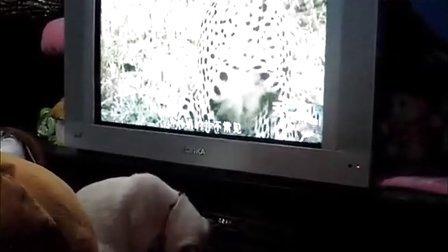 暹罗多多爱看动物世界《大猫》MV