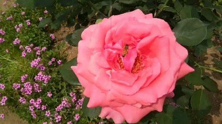蔷薇园赏花