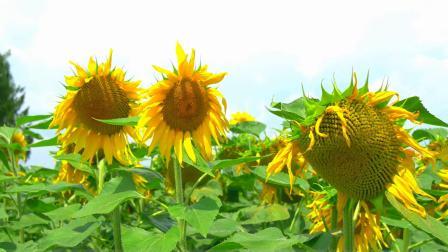 贵阳修文醉美向日葵