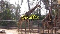 在圣地亚哥动物园的长颈鹿们 Giraffe at the San Diego Zoo