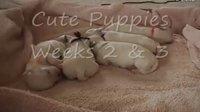 马耳他小狗-两个月了 Maltese Puppies 2 Weeks Old