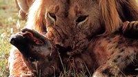 雄狮兄弟为争夺食物而打斗