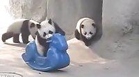 可爱熊猫玩耍