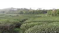 柏泉掠影:养心的空气养眼的山    柏泉的茶园柏泉的茶(2)