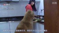 成年犬坏习惯纠正训练的真相-唐伟敏最新训狗教程样片