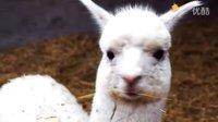 新疆阿克苏   游览国内最大的羊驼繁育场