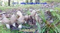 神奇自然 之2015年贵州兴仁油炸鸡枞