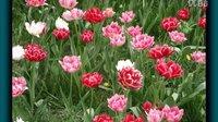 初春 在京城赏牡丹、郁金香