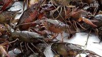 《走进美国》揭秘美国南方水煮小龙虾
