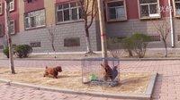 小泰迪第一次遇见鸡