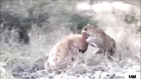 动物间的弱肉强食-豹子VS猎狗-美洲虎VS猎狗-动物世界