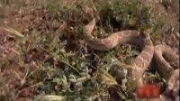 荒野求生一加一05:莫哈维响尾蛇