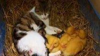 【极酷花园】母猫养小猫和小鸭子【母爱】