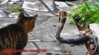 小猫大战毒蛇集锦