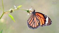 漂亮蝴蝶之三