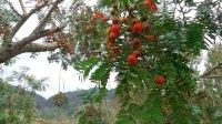 千年红豆杉树,爬过不计其数的人摘果子吃