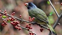 鸟类视频《领雀嘴鹎吃红果》野生鸟视频